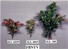 Symptoms of FBNYV on different lentil genotypes, 6 weeks after inoculation, showing variability of symptoms (stunting, chlorosis and reddening).