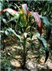 MCDV-infected maize plant showing stunting due to telescoped upper interlopes and red discoloration of upper leaves. Leaves are proportionately reduced in size.