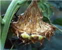 Head rot of sunflower caused by infection with ascospores of S. sclerotiorum. Note the threaded fibrous tissues.