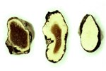Morphologically abnormal sclerotia of S. sclerotiorum from diseased sunflower plants. Note the medullary tissue is white in the normal sclerotium (right) and brown or amber in the slightly abnormal (centre) and grossly abnormal (left) sclerotia.