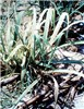 SCWL - affected sugarcane plants with severe chlorosis of the entire leaf blades.