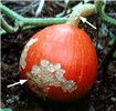 Pumpkin damaged by A. vulgaris. Note extensive damage (arrowed) to pumpkin skin and additional damage to stalk.