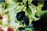 Blistering symptom induced in ZYMV-S infected Cucurbita pepo leaf.