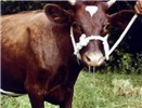 Cow with mild ephemeral fever. It is depressed, lame and has nasal discharge.