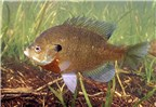 Adult Bluegill, Lepomis macrochirus in habitat.
