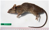 Rattus tanezumi (Asian house rat); adult. Dead specimen. (Note scale in cm)