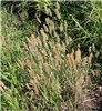 Polypogon monspeliensis (annual beard grass) plant with flower heads
