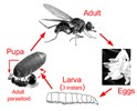Haematobia irritans (horn fly); life cycle of horn fly (Haematobia irritans) and stable fly (Stomoxys calcitrans), with details of susceptibility to parasitoids.