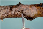 Botryosphaeria dothidea (canker of almond); white or bot rot on apple; note exudation of liquid from a blister in an active canker.