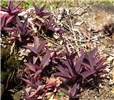 Tradescantia pallida (purple heart); habit at Iao Tropical Gardens of Maui, Maui. May 22, 2012