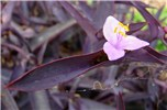Tradescantia pallida (purple heart); flower and leaves. Sand Island, Midway Atoll. June 07, 2008