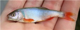 Cyprinella lutrensis (red shiner); adult male, in full breeding colors.