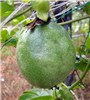 The malformed fruit of the passionfruit infected with EAPV-AO strain seen in the plantation in Amami Oshima island.