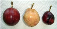 Comparison of healthy fruit and the fruits infected with EAPV-AO type strain. Like the fruits shown in the center, even if it carries out normal temperature preservation after harvest, it does not color and does not ripen completely in many cases.