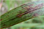 Brachypodium sylvaticum infected by a rust fungus in Switzerland. Leaf showing rust infection caused by Puccinia brachypodii var. brachypodii
