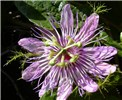 Passiflora foetida (red fruit passion flower, love in a mist); purple flowered variety. LaPerouse, Maui. April, 2004.