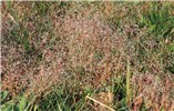Aira caryophyllea (silver hairgrass); dry, fruiting plants.