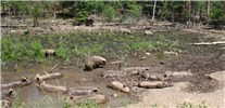 Sus scrofa (feral type); feral pigs mud bathing in a woodlot damaged by livestock. Wisconsin, USA.