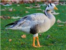 Anser indicus (bar-headed goose); a bar-headed goose in St James's Park, London, England. November, 2006.