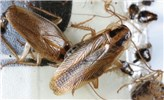 Blattella germanica (German cockroach); adults caught on a sticky trap. USA.