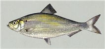 Alosa pseudoharengus (alewife); artwork of adult fish.