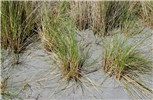 Ammophila arenaria (marram grass); vegetative plants on a sand dune.