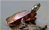 Chrysemys picta (painted turtle); adult, at water surface. Eastern USA. September, 2011.