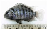 Amatitlania nigrofasciata (convict or zebra cichlid); adult. Captive specimen. Note scale in mm.