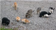 Felis catus (cat); group of feral cats. Note variation in coat-colour.