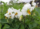 Solanum tuberosum (potato); white flowers. Kula Agriculture Station, Maui, Hawaii, USA. June, 2012.