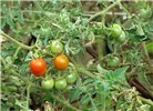 Solanum lycopersicum (tomato); ripe and unripe fruits. Industrial area, Mokulele Hwy, Maui, Hawaii, USA. August, 2009.