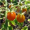 Solanum lycopersicum (tomato); ripe fruits. Waihee Coastal Preserve, Maui, Hawaii, USA. May, 2012.