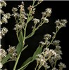 Lepidium latifolium (perennial pepperweed); flowers and partially formed fruits. USA.