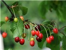 Prunus cerasus (sour cherry); ripe fruits on branch, with foliage. Austria. June 2011.