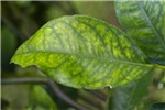 Liberibacter asiaticus (Asian greening); leaf symptoms.