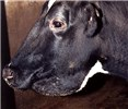 Cow with clinical Johne's disease exhibiting submandibular oedema.