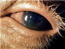 Conjunctival hyperemia, lacrimation, and early corneal oedema in the early course of MCF.