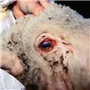 Keratoconjunctivitis in a sheep caused by MmmLC.