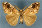 Orgyia postica (cocoa tussock moth); adult male (museum set specimen)