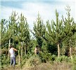 Young trees that are being pruned, showing semi-adult crown habit, and foliage colour. Site fertility is lowish, leading to relatively narrow crowns.