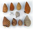 Unopened cones showing range of size and shape from within New Zealand land race, which has no ancestry from the provenances with either the largest or smallest cones.