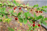 Berberis thunbergii (Japanese barberry); foliage and fruits.