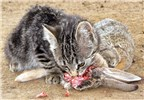 Felis catus (cat); a four month old feral kitten eating an adult cottontail rabbit (Sylvilagus spp.). nr. Denver, Colorado, USA. 2009.