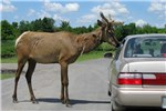 Cervus canadensis (wapiti); bull, beside a typical saloon car for scale. Parc Safari, Hemmingford, Québec. June 2012.