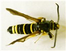 Adult male of P. tabaniformis (poplar clearwing). Adult wingspan is ca 30 mm.
