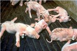 Litter of splaylegged, weak and dying piglets born to sow infected in late pregnancy with PRRS virus.