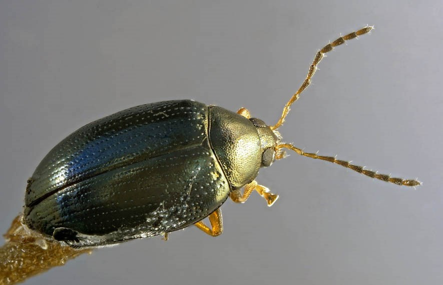 Psylliodes chrysocephala (cabbage stem flea beetle); adult.