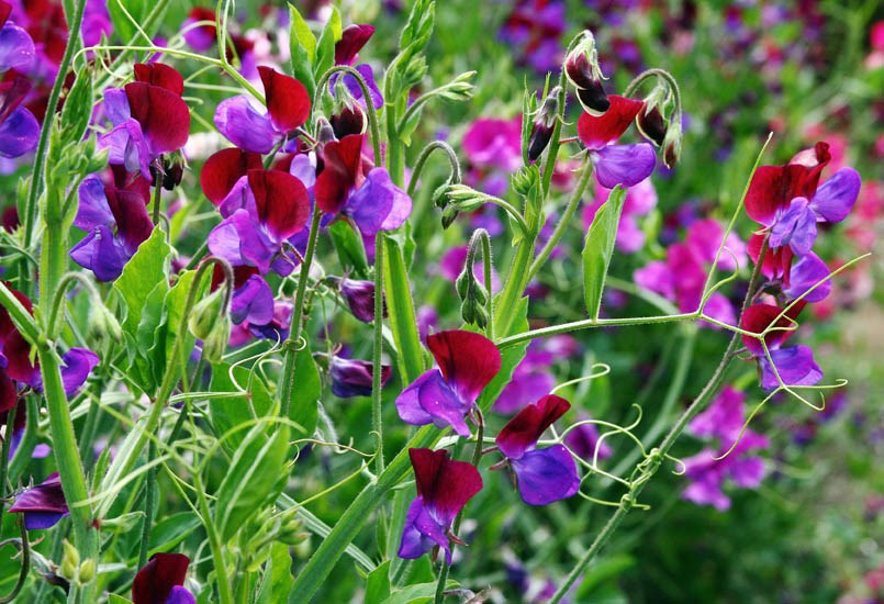 Lathyrus odoratus (sweet pea); habit and flowers of cultivated plants. As the specific name implies, the flowers of L. odortaus are very fragrant. USA. August 2008.