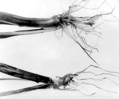 Root rot of barley caused by P. arrhenomanes.