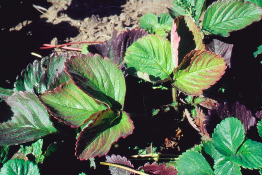 Candidatus Phytoplasma australiense; symptoms on strawberry infected with lethal yellows phytoplasma, showing purple-bronzing of older leaves.